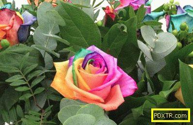 Ирисцентни рози са най-необичайните живи рози в света. как