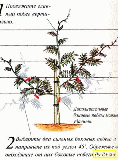 Отглеждане на семенни листа и резници. какви правила на
