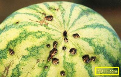 Дини: отглеждане и грижа за най-големите сладки плодове.