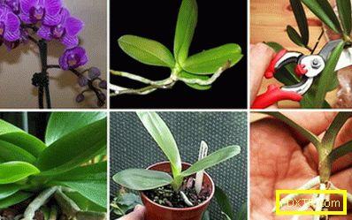 Phalaenopsis: грижа за дома. удивителният свят на