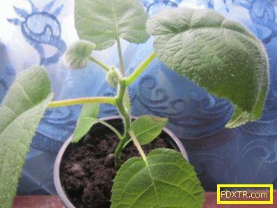 Отглеждане на киви: грижи у дома от кълняването на семената