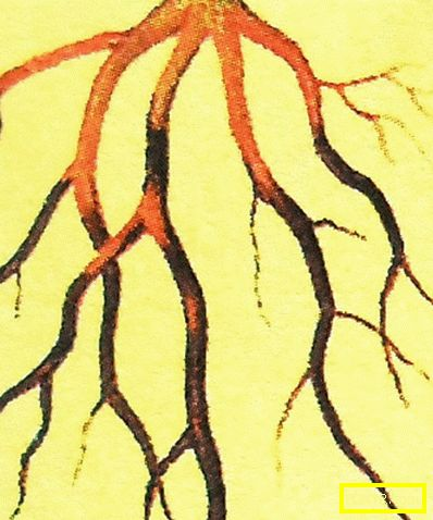Cypress: правилно кацане и компетентна грижа (снимка).