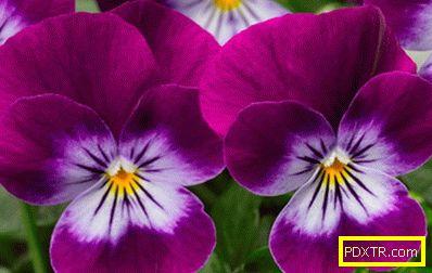 Магарета - засаждане и грижи, особености на това цвете и