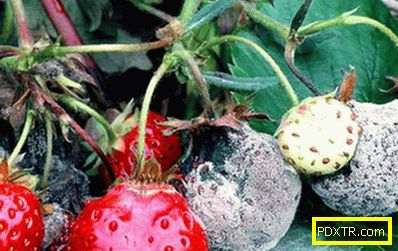 Причини за изсушаване на ягоди: болести, вредители или