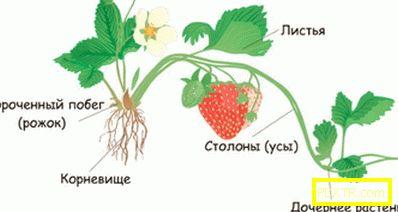 Кога, защо и как да се намалят ягоди: правилата за