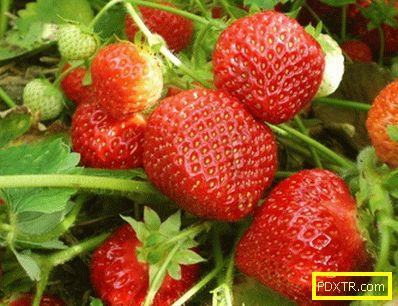 Най-добрите сортове ягоди са популярни и нови. кой сорт може