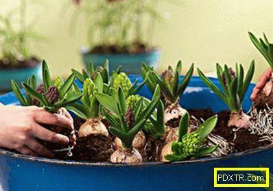 Hyacinth: каква грижа е необходима след цъфтежа. луковици на
