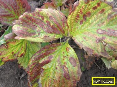 Петна върху листа от ягоди: кафяви, ръждиви, кафяви - защо