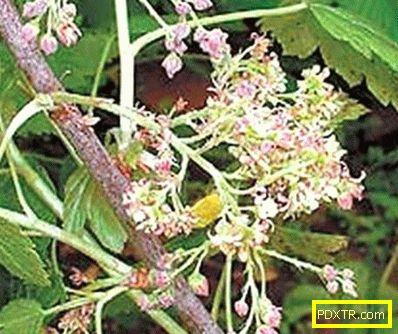 Болести на цариградско грозде и борба с тях: какво да