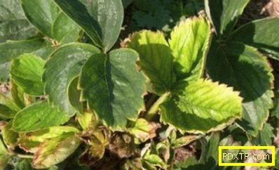 Листата стават жълти при ягоди - реколтата умира! защо