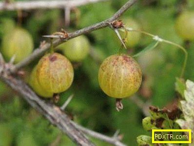 Листата на цариградско грозде стават жълти - възможни