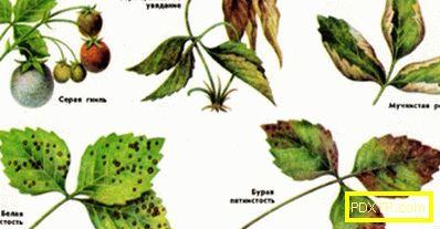 Засаждане и грижи за кръвта за ягодоплодни: защо ягодите са