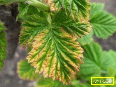 Как да отглеждаме здрава градина: защо листата от малини