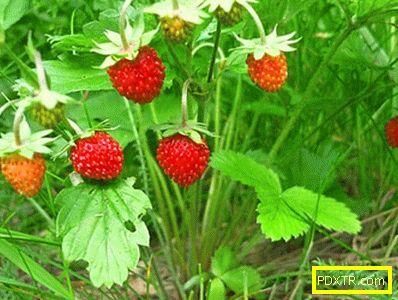 Основните разлики между ягоди и ягоди. да се научиш