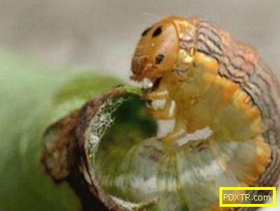 Мерки за борба с гъсеници на касис (снимка). най-добрите