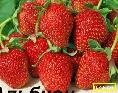 Градина ягоди: най-добрите сортове и грижи за тях. какъв вид