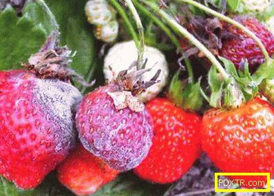 Сивото гниене унищожава реколтата от ягоди. как да се запази