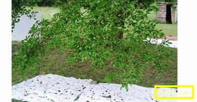 Mulberry: засаждане, отглеждане и грижи (снимка), различни