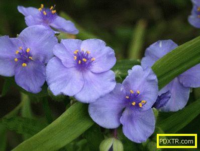 Отглеждане на градината tradescantia: засаждане, грижи,