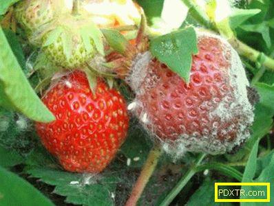 Култивиране на ремонт на ягоди (фото): избор на сорт,