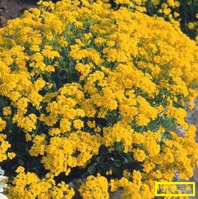 Засаждане на алисум в градината: изберете подходящото място