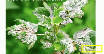Болести на касис: бяло покритие върху листата. как да се