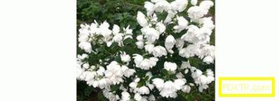 Chubushnik - необичаен храст за градината, фалшив жасмин.