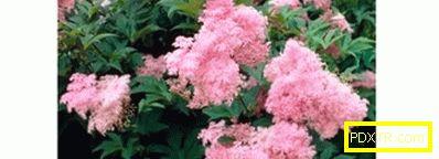 Многогодишни цветя за градината, които не изискват грижи -