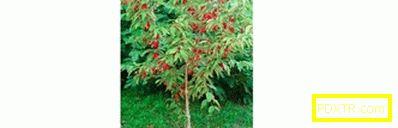 Бери храсти: отглеждане на дърво в страната. тайните на