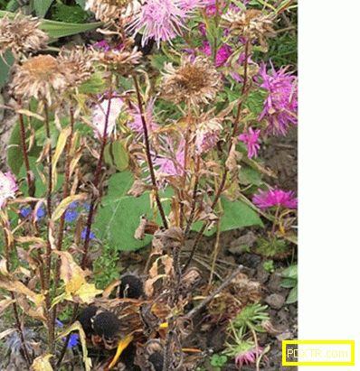 Непретенциозни годишни: ние отглеждаме астра от семена.