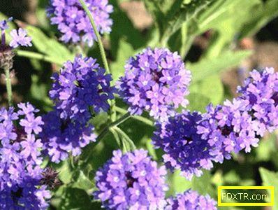 Verbena: засаждане на семена, грижи за разсад, пресаждане в