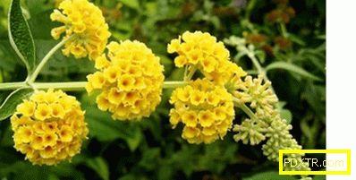 Buddleia: засаждане и грижи, размножаване, отглеждане от