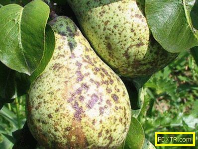 Болести на плода: как да се определи клечка върху крушата.