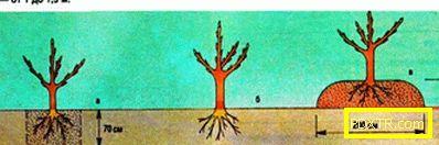 Засаждане на овощни дървета през есента: съвет от