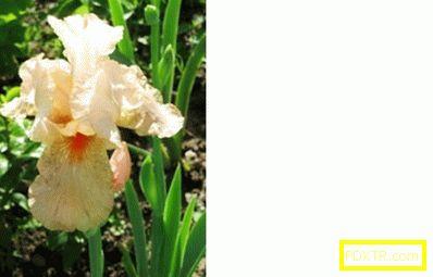 Грижа за градинските цветя: трансплантация на есенна ириса.