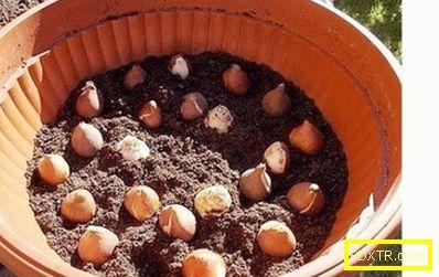 Засаждане на лалета през есента в почвата: времето на кацане