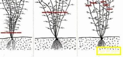 Clematis през есента: засаждане и грижи, как да се подготви