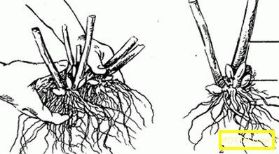 Флокс: особености на есенното засаждане и подготовка за