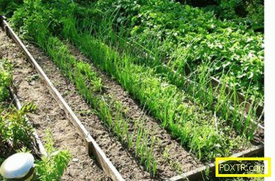 Как да получите ранна реколта лук: засаждане през есента.