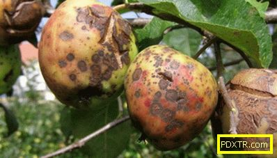 Ябълките гниене на дървото: причините и методите за лечение