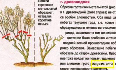 Hortensia: правилата на есенната грижа, всички тънкости на