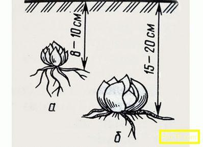 Лилиите трансплантация през есента: кога и как да се
