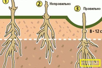 Как да направите трансплантация на клематис през есента.