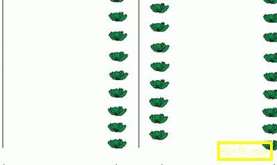 Как да получите добра реколта от карфиол: разсад, почва,