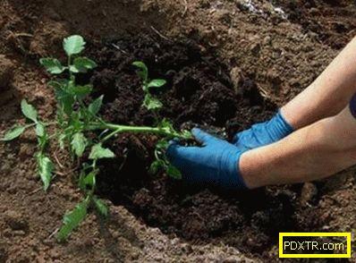 Засаждане на домати в парник от поликарбонат: кога и как.