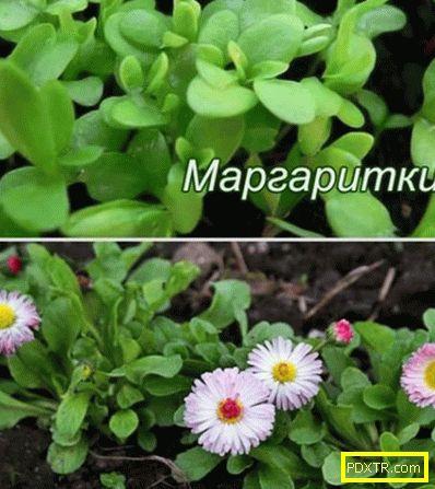 Как да засаждаме маргаритки в градината, има ли много