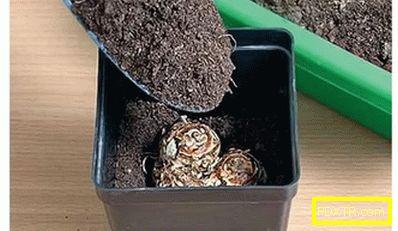 Гъби за градина: засаждане и грижи на открито. калла кала