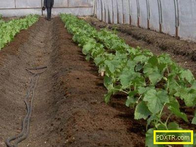 Правилно засаждане на краставици в поликарбонатна оранжерия.