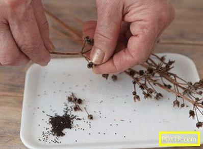 Засаждане на пърбчета със семена по всички правила: времето