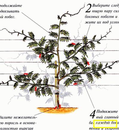 Дървоподобна лиана или вистерия: засаждане и грижи на